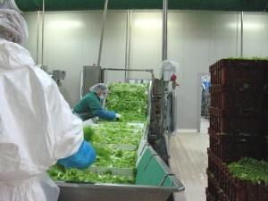 ortoverde-lavorazione-iv-gamma-colture-protette-foglie-processo-bysciceri-525